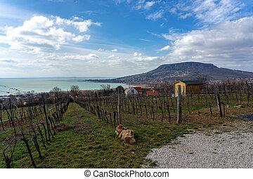 Beautiful view ot the Badacsony hill next to the Lake Balaton from above with an vineyard .