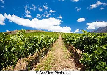 beautiful vineyard and clear sky