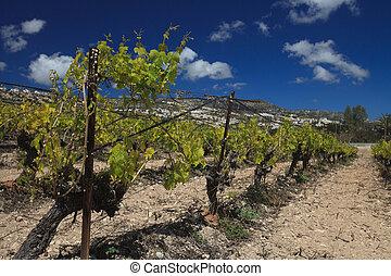 Beautiful vineyard in spring against a blue sky