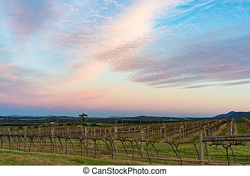 Beautiful vineyard landscape at sunset