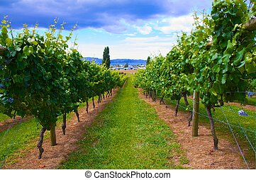 Beautiful vineyard New Zealand