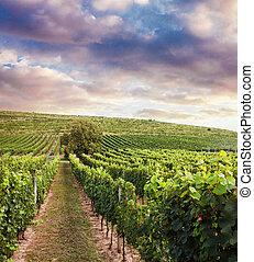 Beautiful vineyard sunset