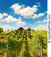 beautiful vineyard with sunny cloudy blue sky
