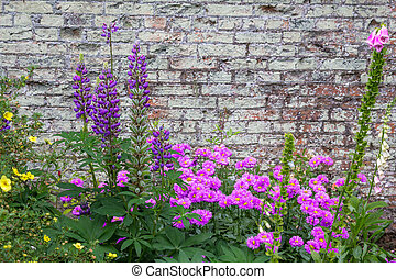 Beautiful, violet flowers blooming in the garden against old brick wall