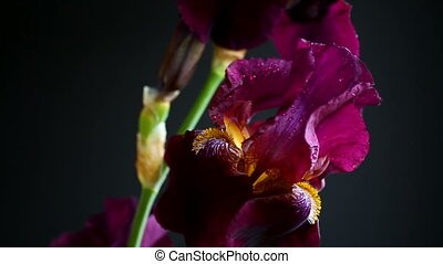 beautiful violet iris flower