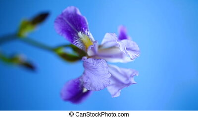 beautiful violet iris flower on a blue background