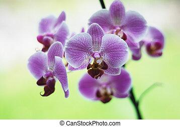 beautiful violet orchids