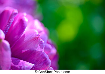 Beautiful Violet Tulip on Blurred Green Background