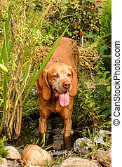 Beautiful Vizsla dog standing in water. Vizsla dog outdoor portrait by water. The dog cools in the water.