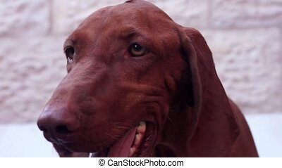 Beautiful Vizsla Dog