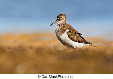 Beautiful wader bird on the ground. Common sandpiper