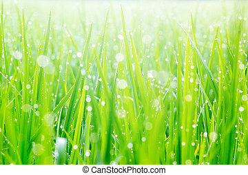 Beautiful Water Droplets On The Green Grass Shine In The Sunlight And Bokeh Close-up Macro, Abstract Summer Nature Background With Drops Of Dew.