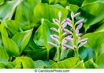 Beautiful Water Hyacinth flowers in pond