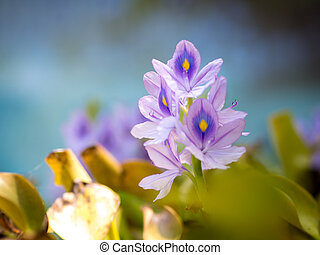 Beautiful Water Hyacinth flowers