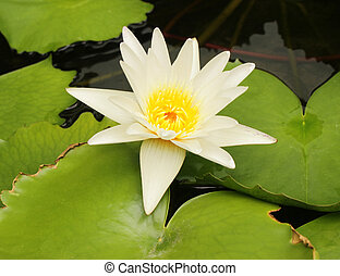 Beautiful water lily and green leaves