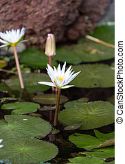 Beautiful  water lily lotus flower in pond