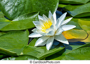 Beautiful Water lily on the lake