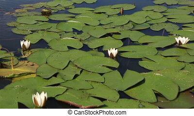 Beautiful water lily on the lake Manzherok. Altai Krai....