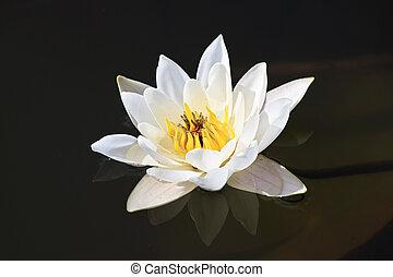 Beautiful water lily on the lake Manzherok.