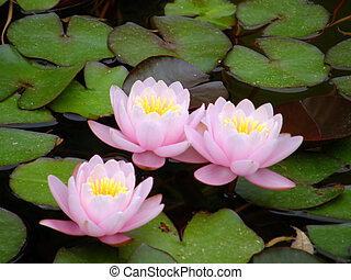water lily - Beautiful water lily