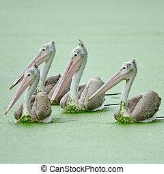 Beautiful waterbird, groups of Spot-billed Pelican ( Pelecanus phillippensis)