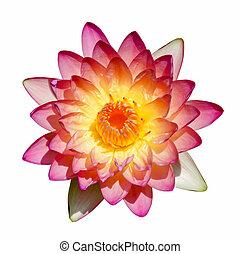 Beautiful waterlily Hybrid flower. (Nymphaca nouchali...