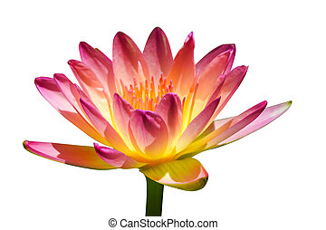 Beautiful waterlily Hybrid flower. (Nymphaca nouchali...