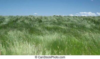 Beautiful waving grass of wilderness, South Dakota