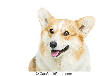 Beautiful welsh corgi dog - Beautiful welsh pembroke corgi...