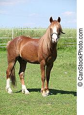 Beautiful welsh mountain pony stallion on pasturage -...
