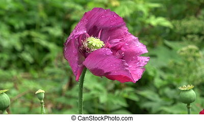 Beautiful wet dewy poppy blossom in wind