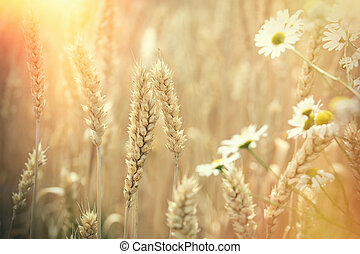 Beautiful wheat field and daisy flower lit by sunlight