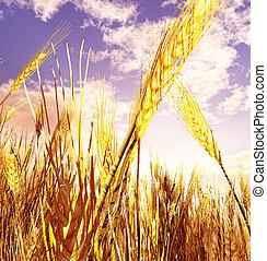 Beautiful wheat field
