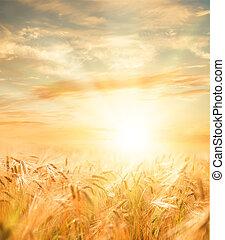 Beautiful wheat field. - Beautiful sunset over wheat field.