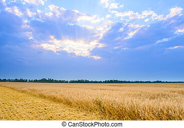 Beautiful Wheat Field under Blue Sky with Dramatic Sunset Clouds