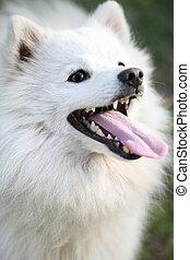 Beautiful white Alaskan Eskimo dog