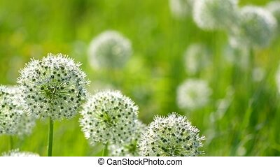 Beautiful White Allium circular globe shaped flowers blow in the wind