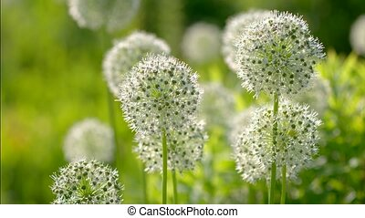 Beautiful White Allium circular globe shaped flowers blow in...