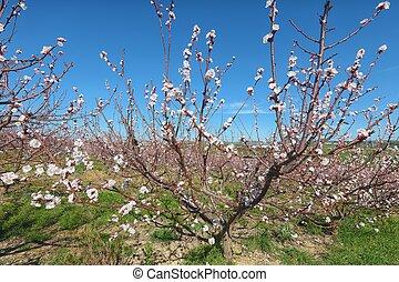 Beautiful white almond flowers on almond tree branch in spring Italian garden, Sicilia