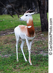 beautiful white antelope in woods in Miami zoo