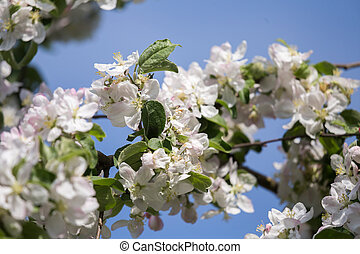 Beautiful, white apple tree blossoms blooming in a sunny day.
