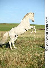Beautiful white arabian stallion prancing in nature