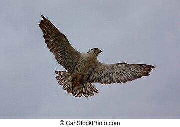 beautiful white arctic hawk