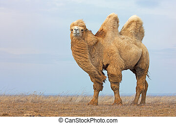 Beautiful white bactrian camel (Camelus bactrianus) in wild...