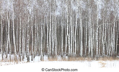 white birches in birch grove - Beautiful white birches in...