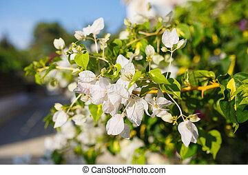 Beautiful White Bougainvillea flowers
