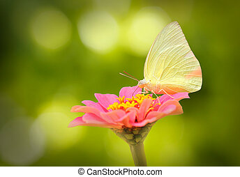 beautiful white butterfly on pink zinnia flower on a spring day