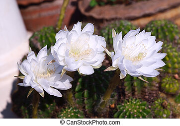 Beautiful white cactus flower in Thailand