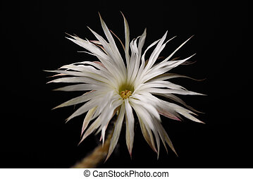 Beautiful white cactus flower on black background