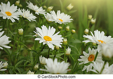 Beautiful white camomiles or daisies on a green meadow